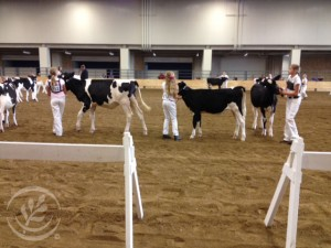 county state fairs, indiana, boone county, holstein, dairy cow, dairy cattle show, michele payn-knoper daughter